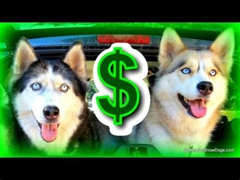 how much does a siberian husky puppy cost the cost of owning a how much does it cost to own a siberian husky