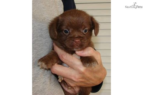 yorkie poo shih tzu puppies what are shorkie poo puppies breeds picture