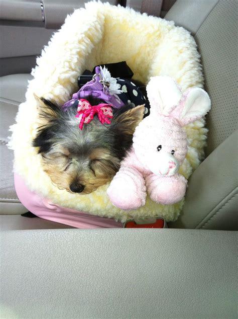 yorkie in car seat sleeping in car seat yorkie yorkie grace ivee pearl