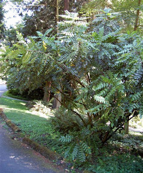 c fruit seattle wa plantfiles pictures mahonia arthur menzies mahonia x