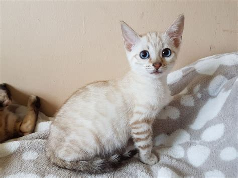seal lynx point spotted snow bengal kitten by junglelure bengals of female seal lynx spotted bengal girl halifax west