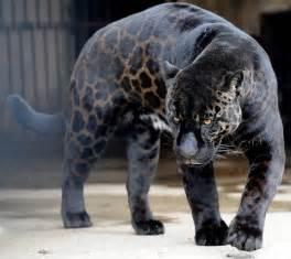 Panthers Jaguars Jaguar Facts For Facts About Jaguars For