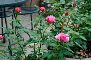 Flower Container Gardening - introducing princess alexandra of kent david austin rose