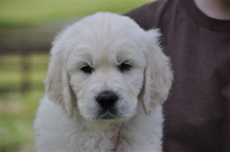 golden retriever breeders in maine cheap golden retriever puppies oregon merry photo