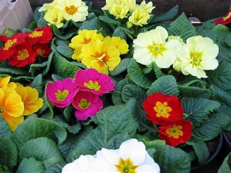 fiori da giardino invernali fiori invernali da balcone piante da giardino fiori