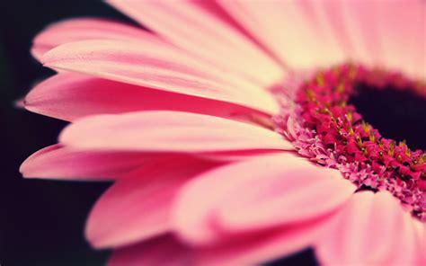 Home Design 3d Para Windows Xp gerbera hd photography wallpaper 2 flower wallpapers