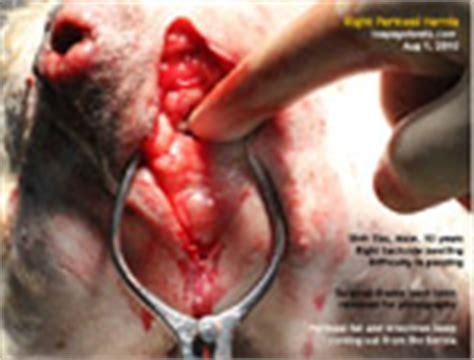 shih tzu constipation 20100126spay labrador retriever dr sing toa payoh vets singapore veterinary vets