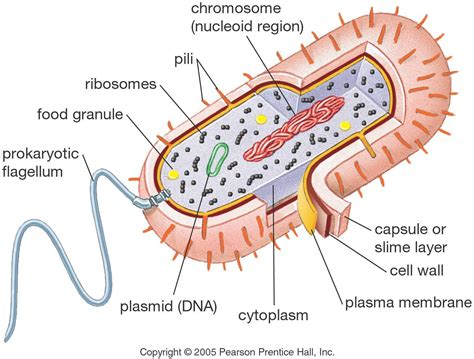 label the structures on this diagram of a moss animal cell model diagram project parts structure labeled