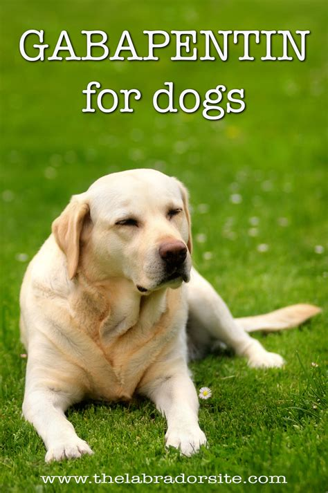 gabapentin for dogs gabapentin for dogs how it works the dosage and side