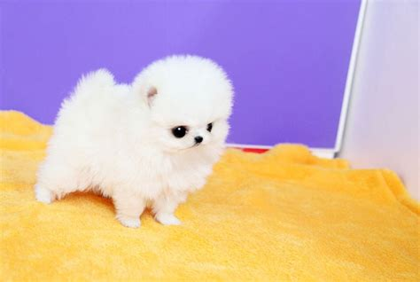 teacup pomeranian for sale vancouver adorable micro teacup pomeranian white available