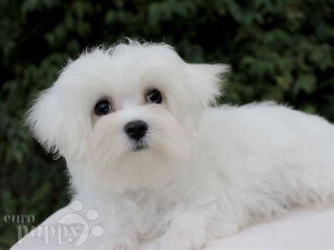 maltese puppy price maltese puppy for sale puppy