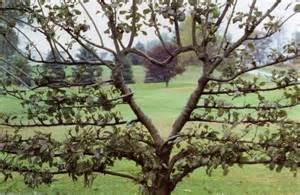heart shaped espalier pear tree hearts my favourite shape pinte