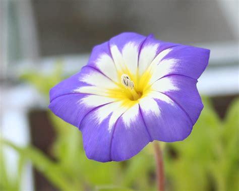imagenes de rosas tricolor file convolvulus tricolor belle de jour jpg wikimedia
