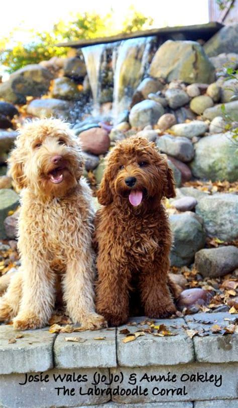 labradoodle puppies wisconsin waukesha labradoodle breeder puppies for sale new berlin adoption rescue