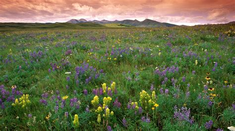 flowering prairie plants books prairie flowers wallpaper