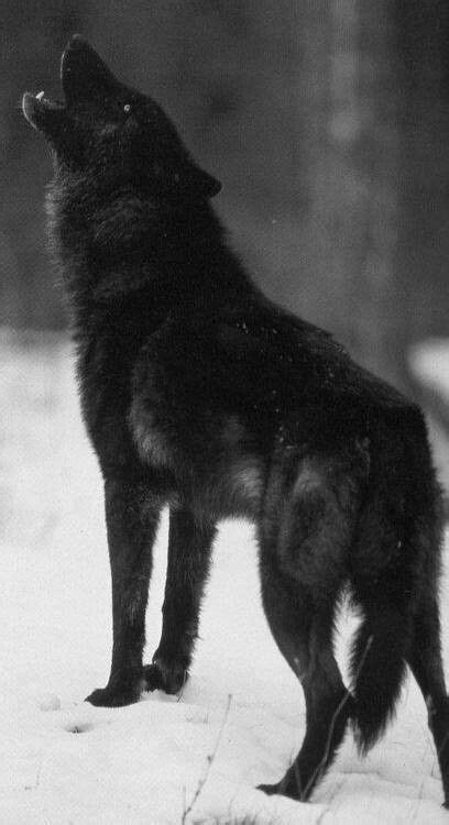 1000+ images about Wolves on Pinterest | Arctic wolf, Red