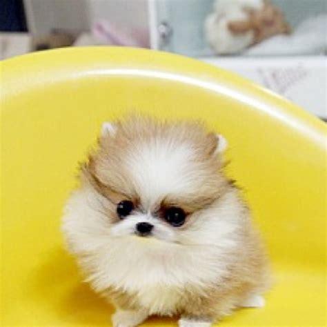 tiny micro teacup pomeranian micro tiny teacup pomeranian puppy car interior design