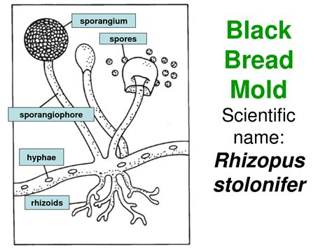 diagram of bread mould horsing around at home class zygomycetes the bread molds