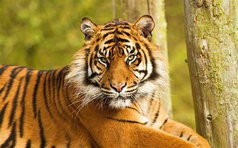 wallpaper iphone 6 tiger tiger face wallpapers wallpaper cave