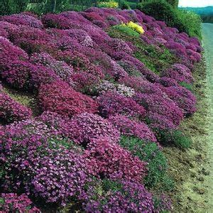seeds ground cover mix spreading perennials which produce stunning masses of flowers in
