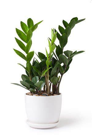 Beliebte Zimmerpflanzen Bilder by Zehn Zimmerpflanzen Die Keinen Gr 252 Nen Daumen Brauchen