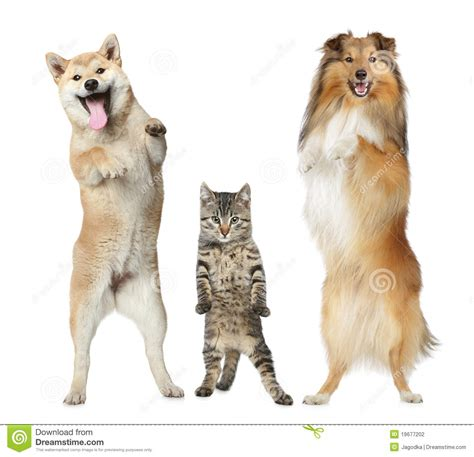how to your to stand on hind legs two dogs and cat stand on hind legs stock photography image 19677202