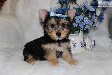 teacup yorkie poos for sale pin puppy yorkiepoo and a kitten yorkiepoo1com on