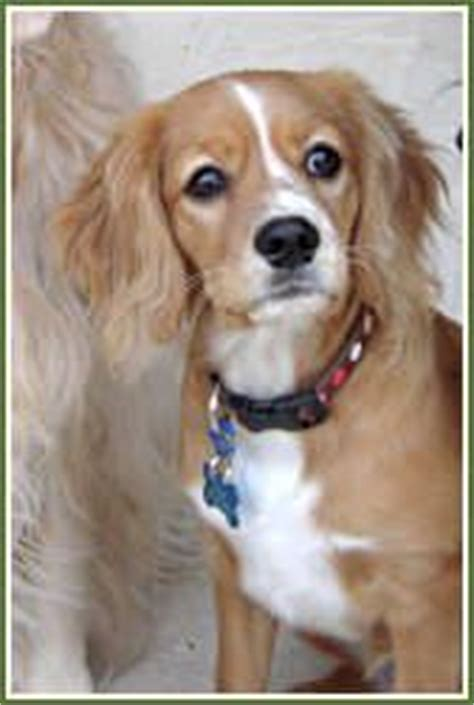 cavalier king charles golden retriever mix pin by gloria hill on pets of all kinds