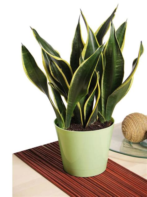 best indoor plants for no sunlight office desk plants no sunlight hostgarcia