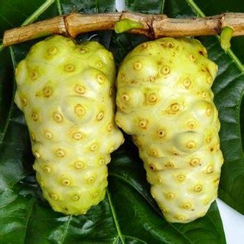 Tanaman Buah Mengkudu manfaat dan ciri buah mengkudu agro budidaya