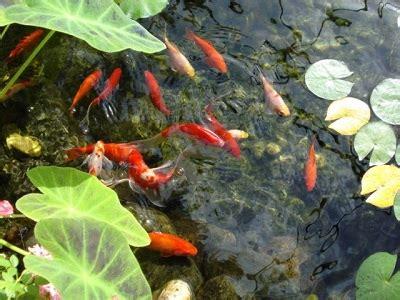 Lukisan Koi Big Myy 12 estanques mantenimiento y cuidados acuaticas flor de