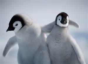 Slavenka amp obi adult emperor penguins caring for their chicks on snow