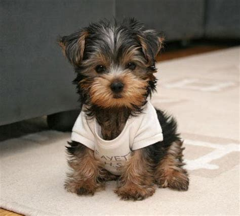 Do Morkie Puppies Shed by Yorkie And Maltese Mix Pictures