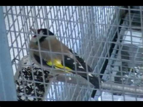 riproduzione cardellini di cattura in gabbia forestale pescara sequestro cardellini doovi