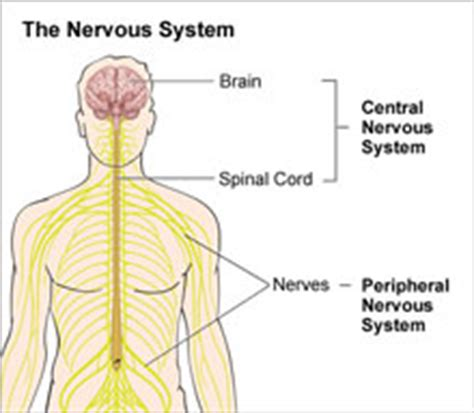 diagram of central and peripheral nervous system what is a neurosurgeon neurosurgery highland hospital