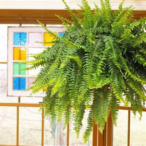 boston fern low light indoor gardening ideas 7 houseplants that add oxygen to