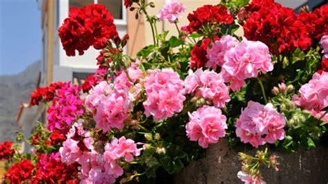 geranio fiore geranio edera e geranio parigino consigli coltivazione e