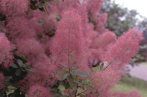 online plant guide cotinus species purple smoke tree