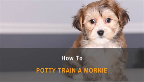 how to poty a how to potty a morkie