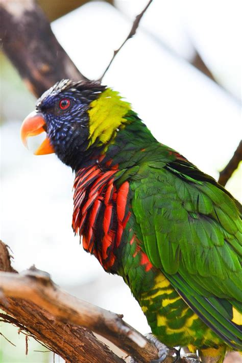 rainbow lorikeet colorful photo picture 1000 images about photos parrots lorikeets on