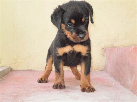 rottweiler in bangalore rottweiler puppies for sale g v balaji 1 6685 dogs for sale price of puppies