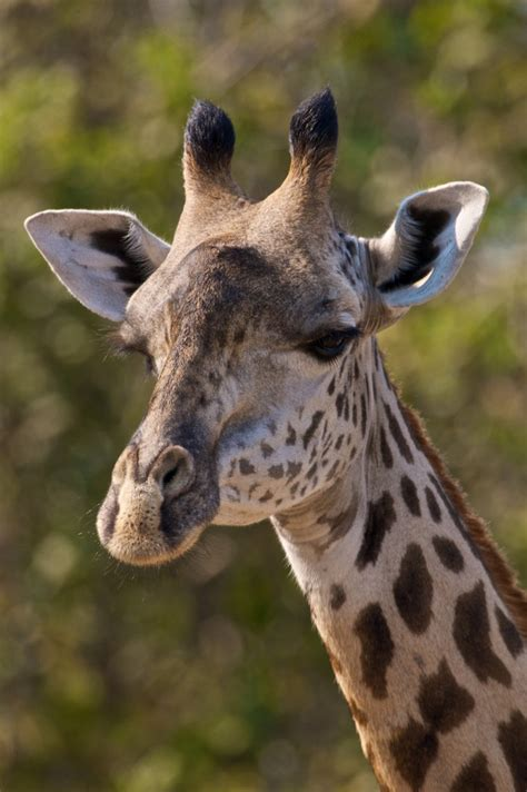 what color are giraffes a giraffe of a different color the sieve