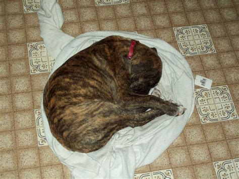 cheap pitbull puppies for sale near me pitbull puppies for sale 100 dollars breeds picture