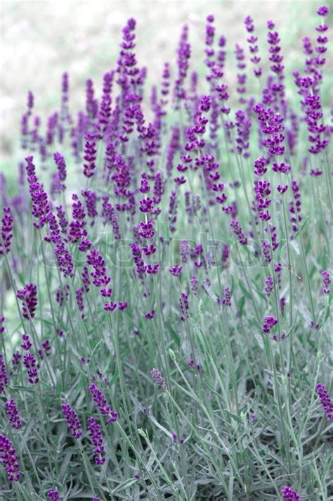 fresh lavender plants outdoors in summer selective focus stock photo colourbox