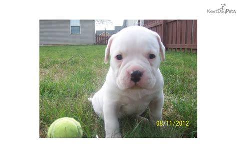 american bulldog puppies for sale in ohio american bulldog puppy for sale near lima findlay ohio c8402a32 54d1