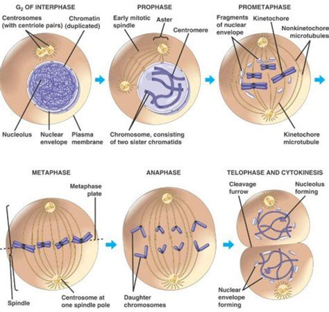 diagram of interphase stages of the cell cycle mitosis metaphase anaphase