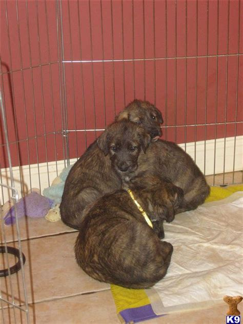 wolfhound puppy price wolfhound puppies for sale 17587