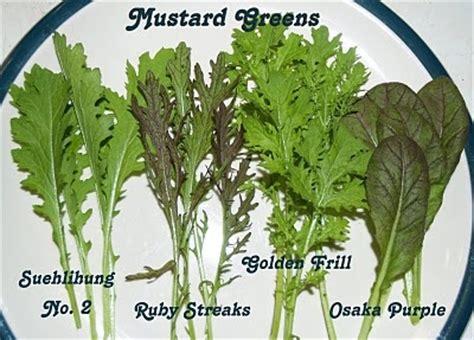mustard greens suehlihung ruby streaks golden frill