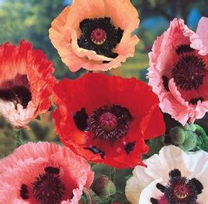 Biji Benih Bibit Bunga California Mix Poppy jual bibit benih bunga poppy mix bibit bunga