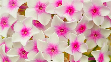 download hd phlox flowers white and pink petals wallpaper